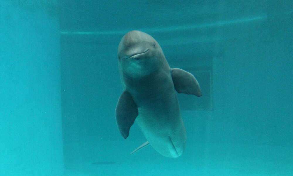 Finless Porpoise facing front