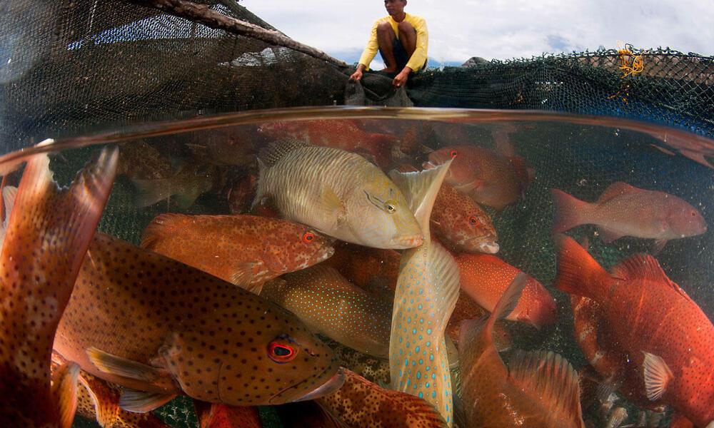 Live reef fish trade in Kudat. Split level of caged fish and caretaker. Kudat, Sabah, Malaysia. 30 June 2009