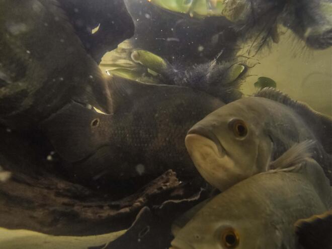 fish in orinoco