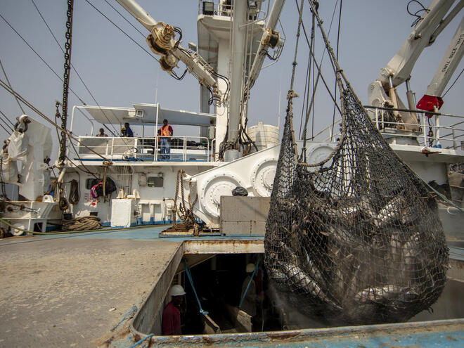 A large net full of mainly skipjack tuna hangs from a hook on a boat on a sunny day in Ghana
