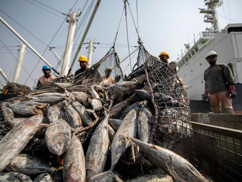 Workers unloading tuna fish catch, largely skipjack, Tema port, Ghana