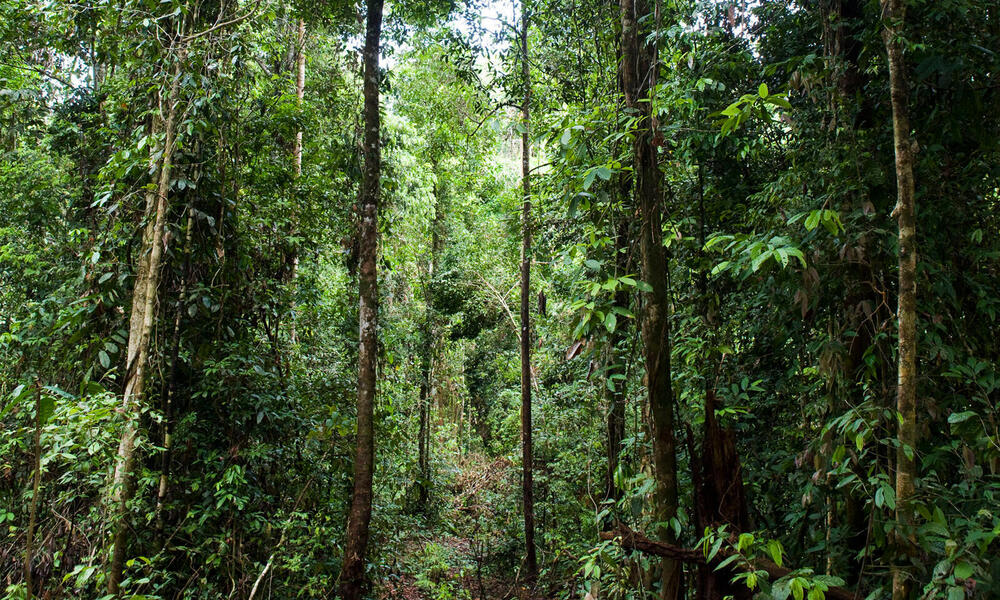 Forest, East Kalimantan, Borneo