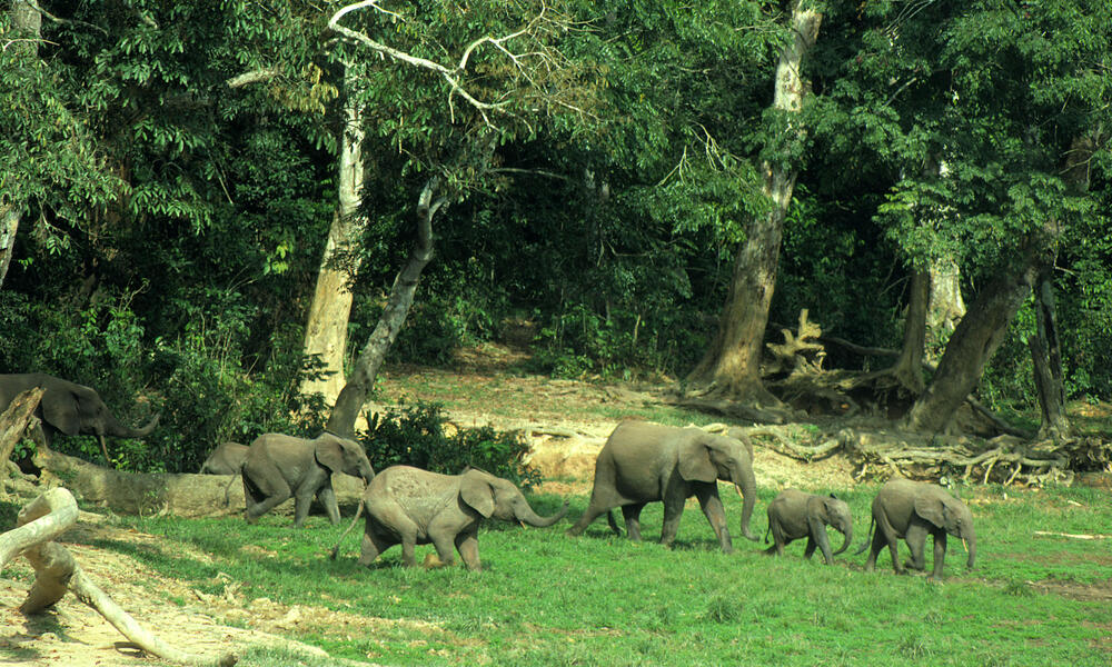 Forest Elephant Threats