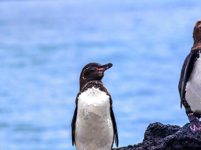Three Galapagos penguins sitting on a rock