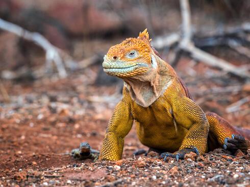 Galapagos land iguana Chris McCann WW1103170