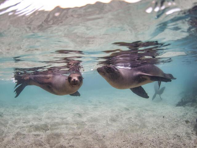 Galapagos sea lions swimming in Baronesa Bay