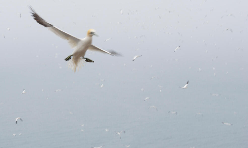 Flying gannet closeup