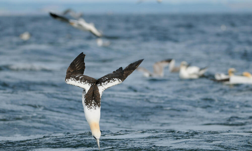 Gannet diving into the water