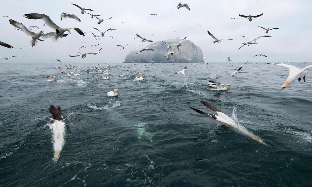 Flock of gannet feeding in the water