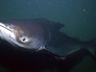 giant catfish mekong