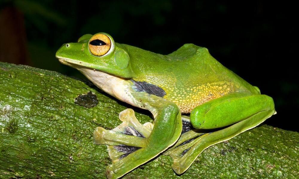 giant green frog