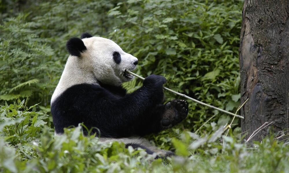 Giant Panda eating bamboo shoot