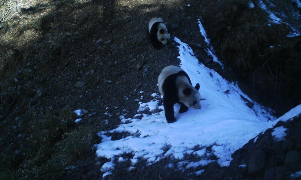 Giant Pandas in snow