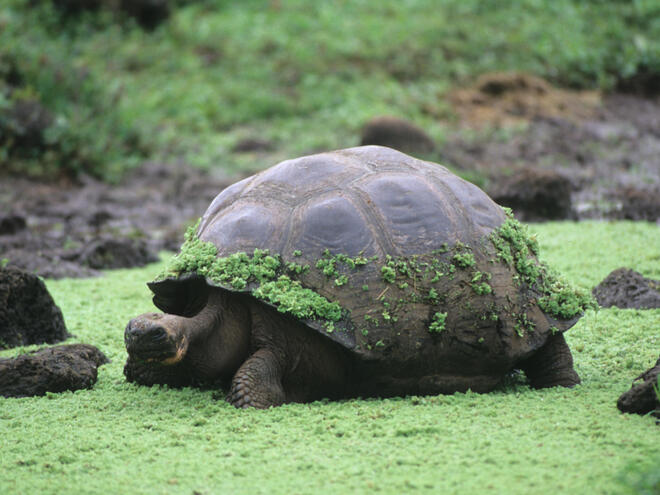 Moss covered Giant Tortoise