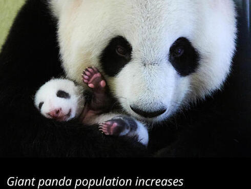 Giant panda population increases