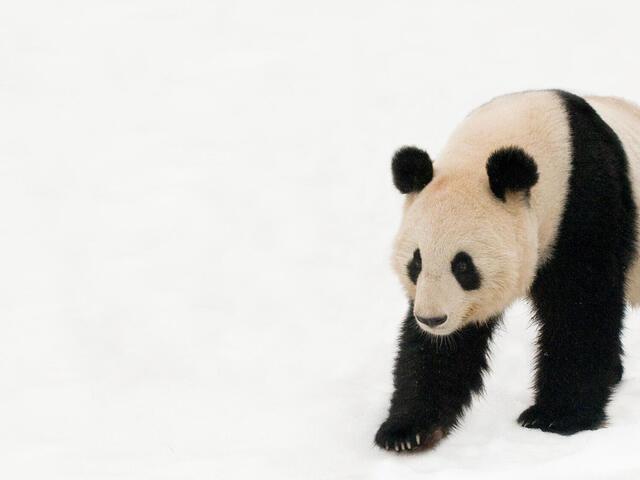 Giant panda walking in deep snow