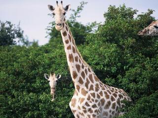 giraffes in trees