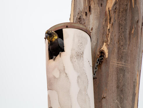 Glossy black cockatoo in an artificial nest box
