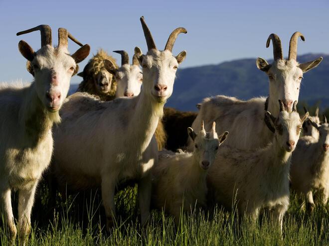 Goats in Livno area, Bosnia and Herzegovina.