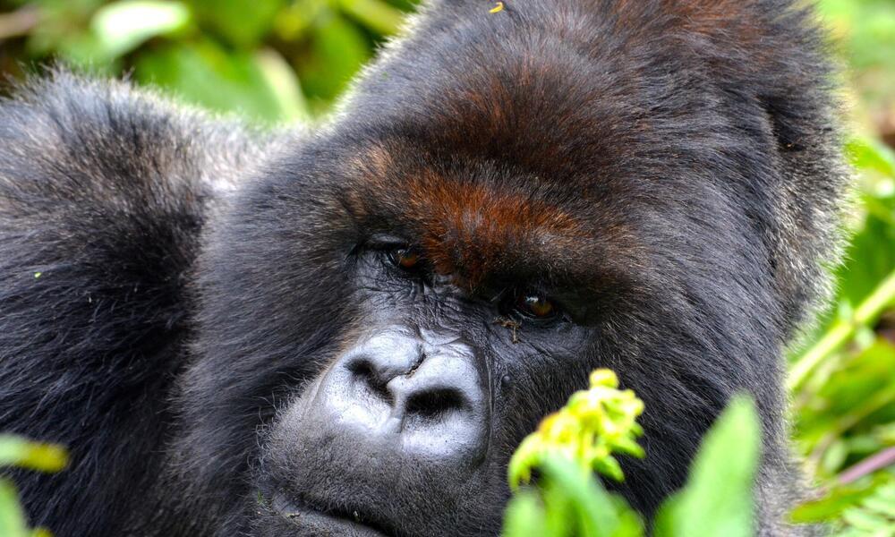 Portrait of gorilla in Bwindi Impenetrable Forest