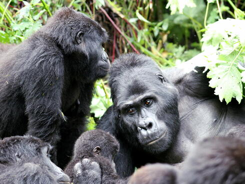 Family of gorillas sitting together in the forest
