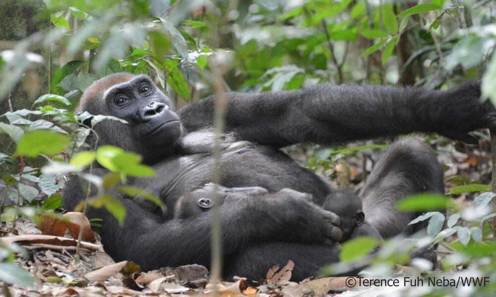 Gorilla mother with her twins