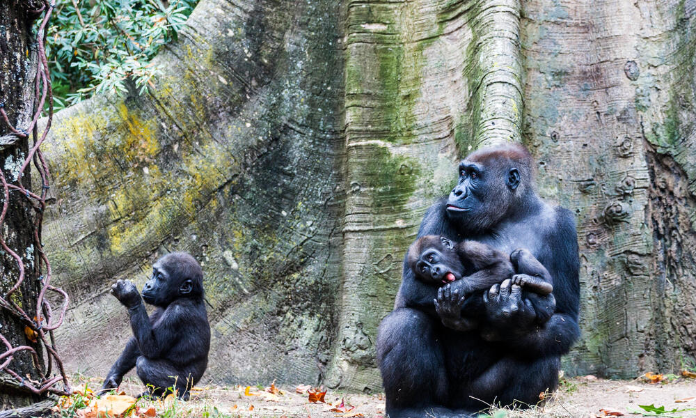 Gorilla and two babies in front of a tree