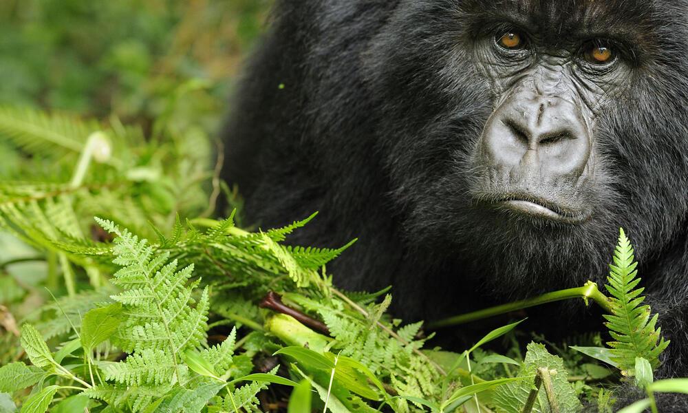 Portrait of a young female gorilla in Rwanda
