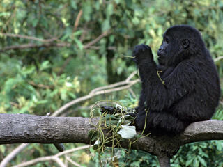 Mountain gorilla  in the Bwinidi Impenetrable Forest in Uganda