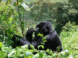 Gorillas help maintain forests