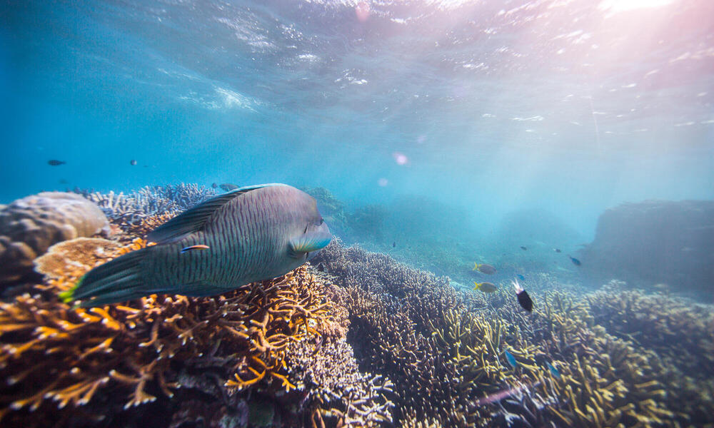 A humphead Maori wrasse on the Great Barrier Reef, Cairns, Australia. The coral is vibrant under the sunny surface. Lots of other small tropical fish swim.