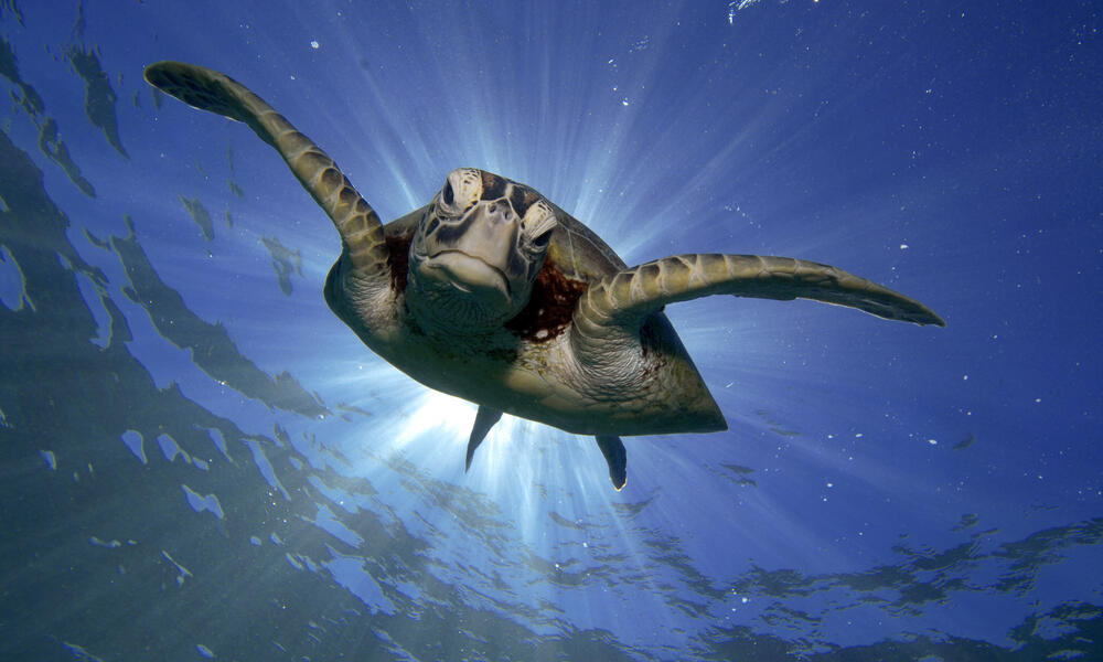Green turtle swimming in Great Barrier Reef