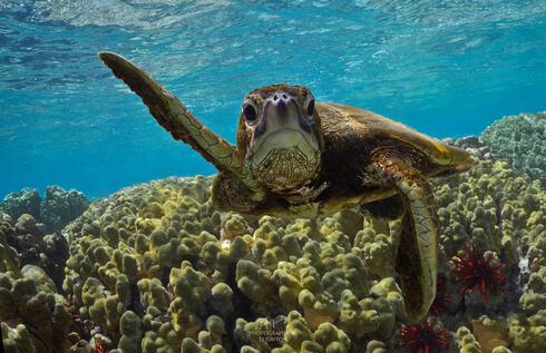 Green sea turtle (Chelonia mydas) swimming, Kona, Hawaii, United States