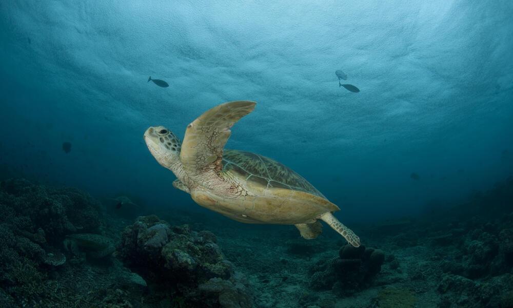 Green Turtle, Malyasia