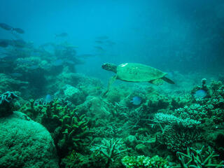 Green turtle swimming through corals and reef fish, Andilana, Nosy Hara Marine Park, Madagascar.