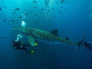 Gulf of California Whale Shark monitor