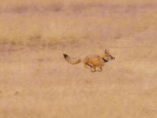 A reintroduced swift fox stands in tall yellow grasses