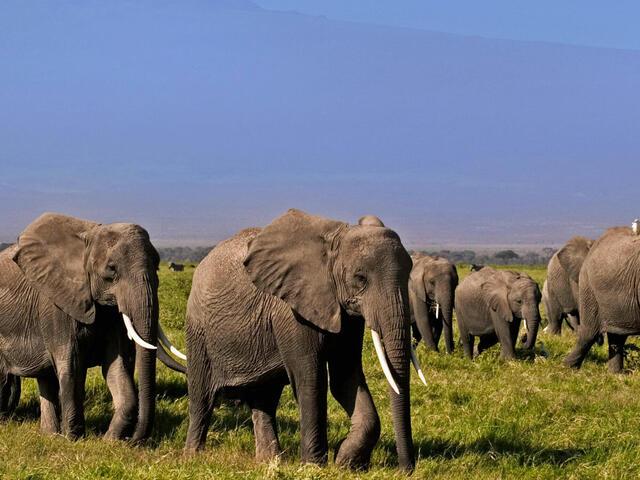 African elephants walking in Kenya