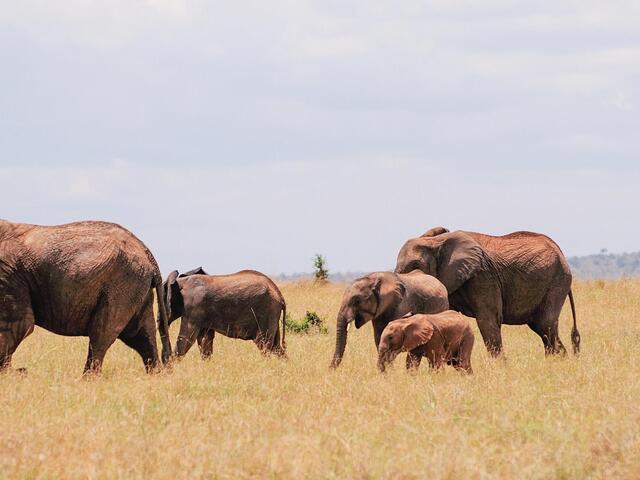African Elephants Walking