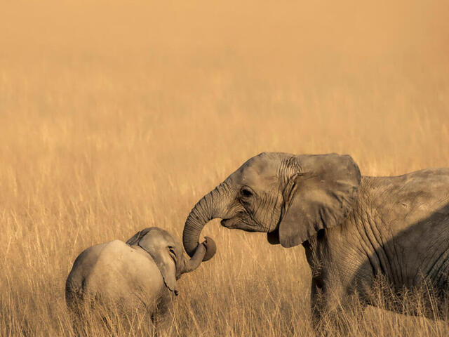 Elephant and calf in tall grasses