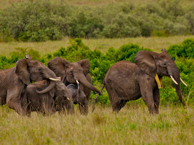 A recently GPS collared, matriarch African elephant stands with it's herd