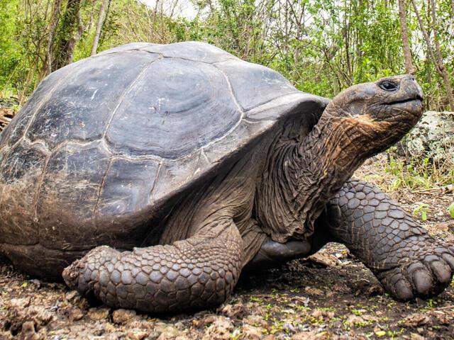 Giant tortoise at a reserve on Floreana Island, Galapagos, Ecuador