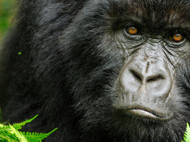 gorilla in the forest in Rwanda