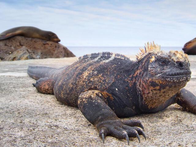 Marine iguana on a rock in Ecuador