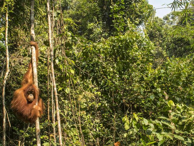 oranguatan released into the wild from the Frankfurt Zoological Society Orangutan Project (TOP) near Bukit Tigapuluh National Park