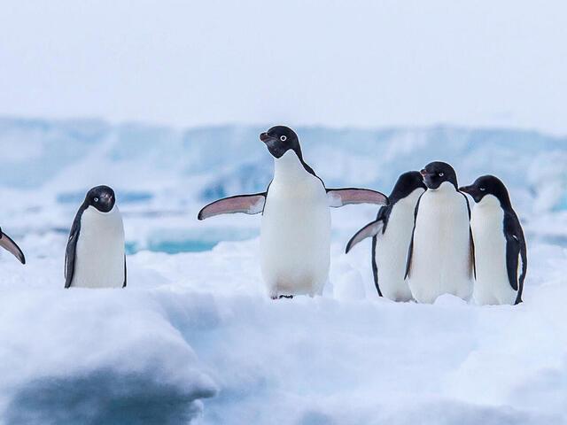 Adelie Penguins on an ice sheet in Antarctica