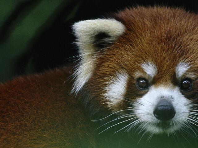 red panda in tree