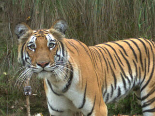 Tiger captured with camera trap