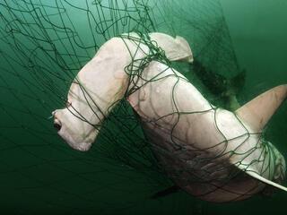 Hammerhead shark caught in a gillnet