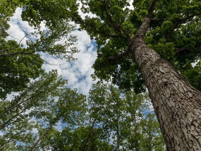 Hardwood canopy from below